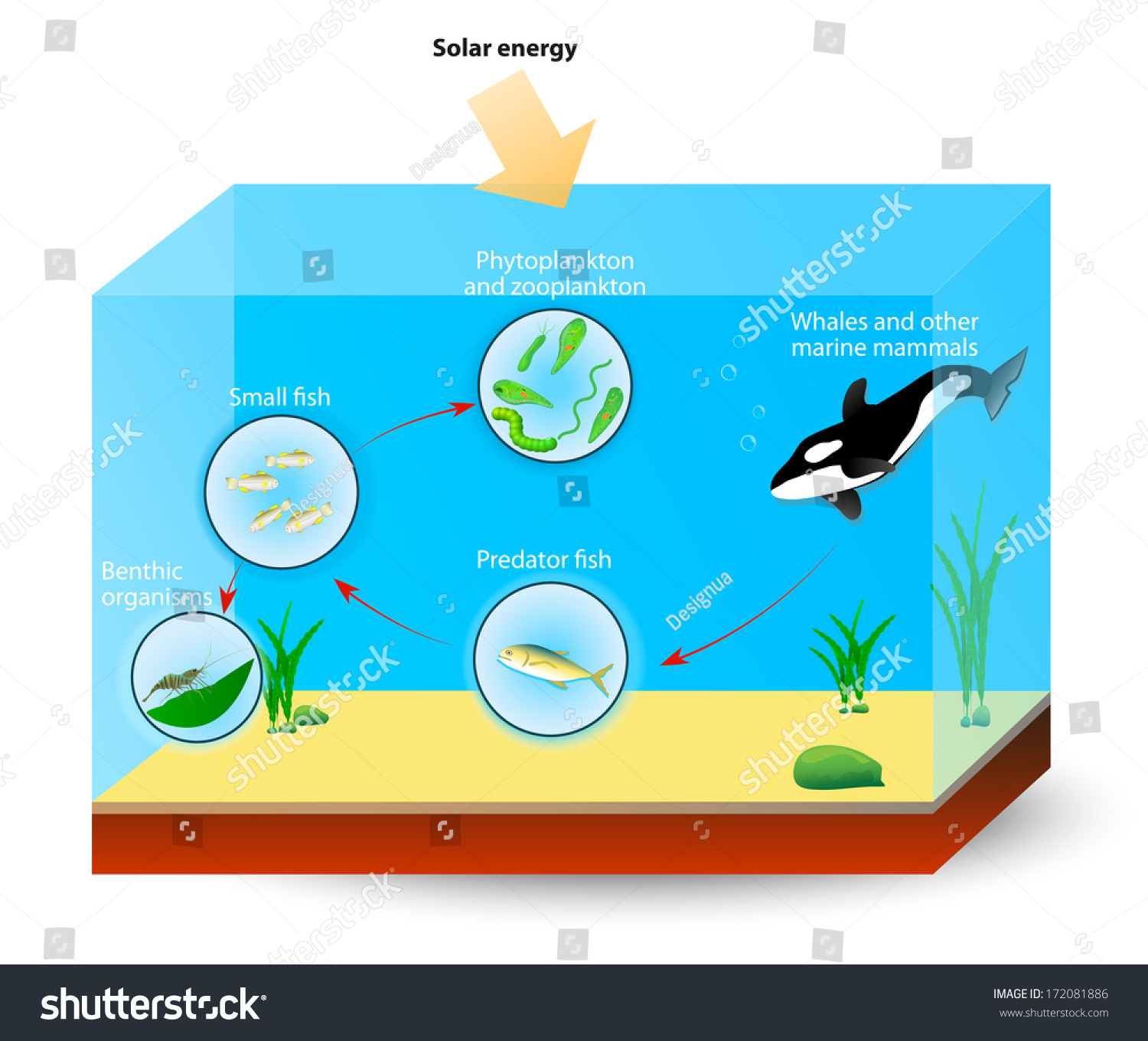 Simple Marine Food Web Diagram Shows Stock Illustration