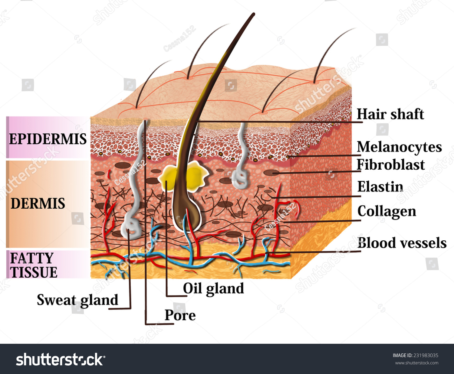 Skin Anatomy Diagram Description Illustration Skin Stock