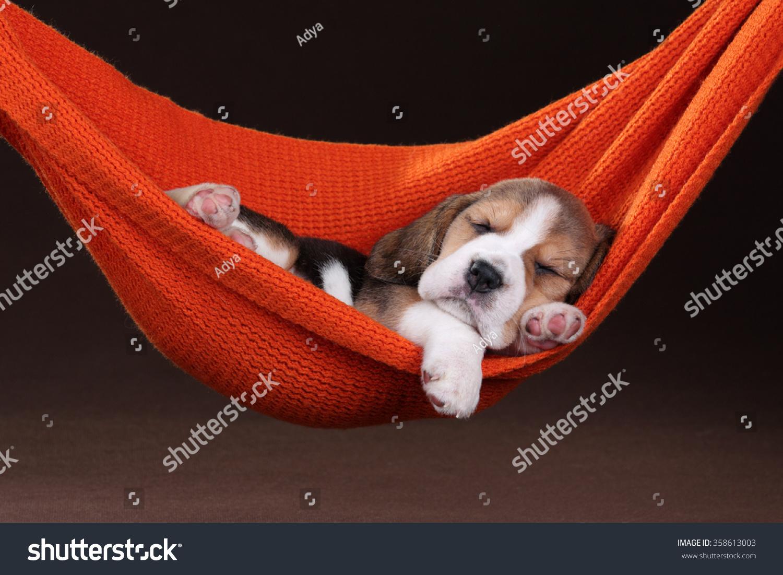 Small Beagle Puppy Sleeping In A Hammock Stock Photo