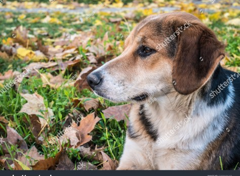 stock-photo-spotted-dog-looking-left-thoughtfully-in-the-fallen-leaves-525010147