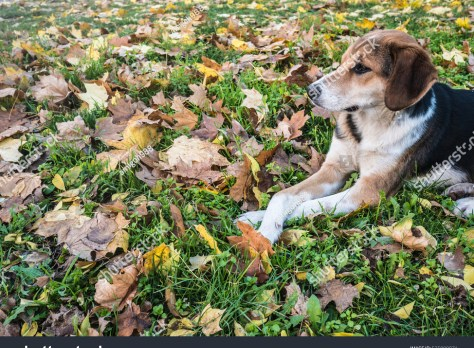 stock-photo-spotted-dog-lying-with-crossed-legs-in-the-fallen-leaves-525009871
