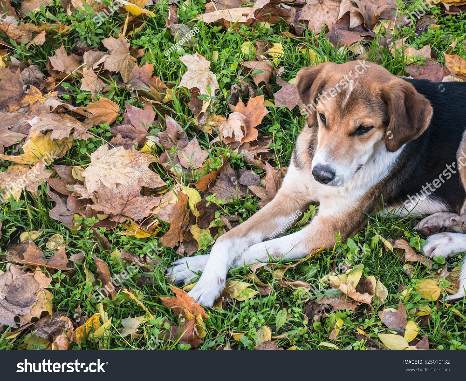 stock-photo-spotted-dog-lying-with-crossed-legs-in-the-fallen-leaves-525010132
