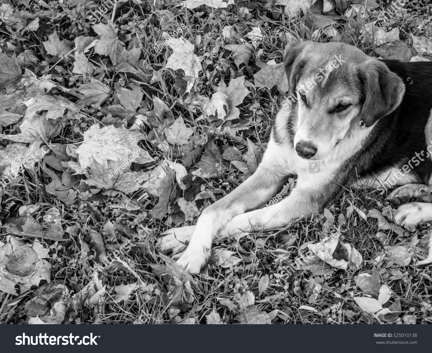 stock-photo-spotted-dog-lying-with-crossed-legs-in-the-fallen-leaves-black-and-white-525010138