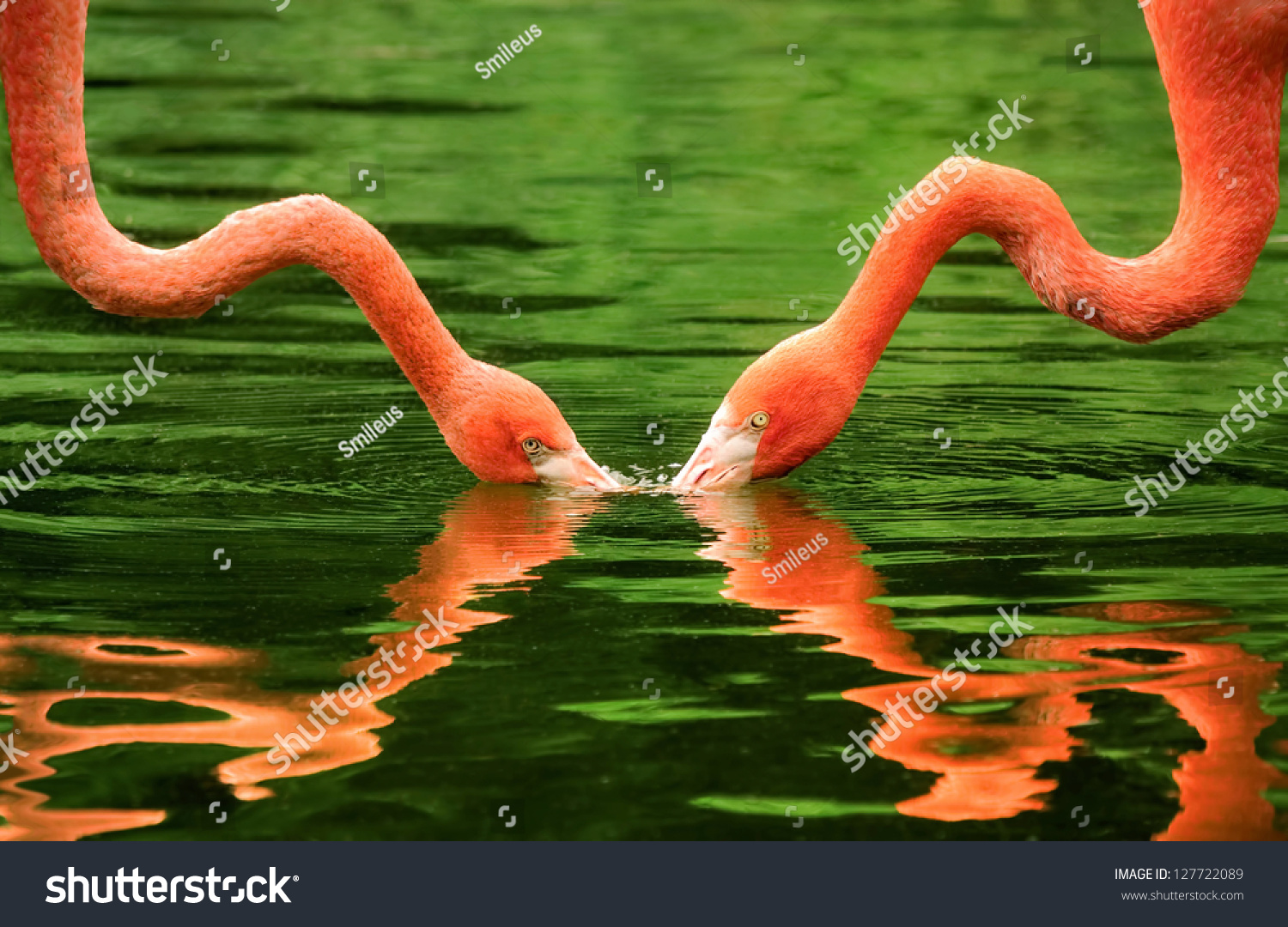 Symmetrical Image 2 Flamingos Their Necks Stock Photo