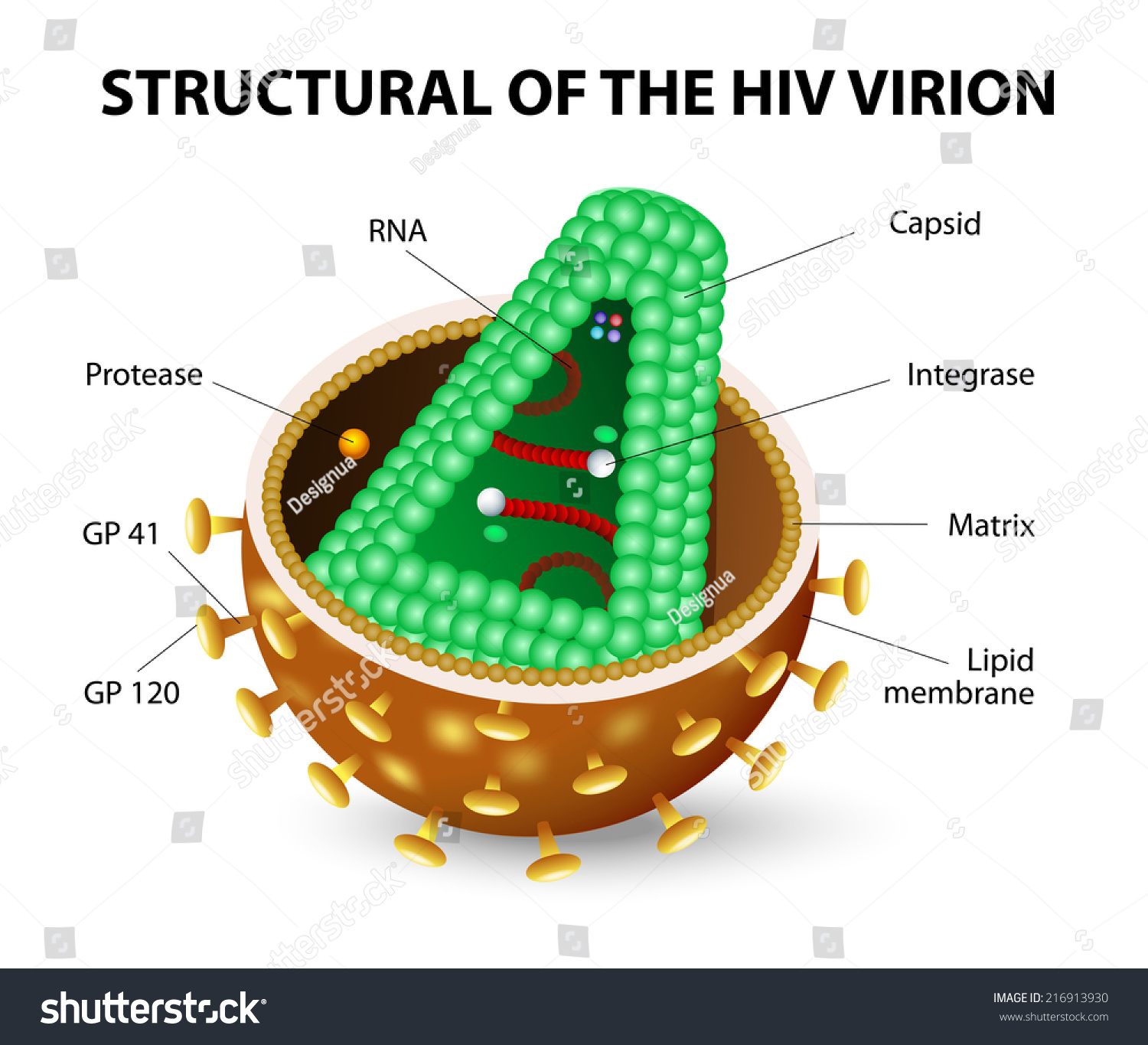 The Human Immunodeficiency Virus Or Hiv Anatomy Of The