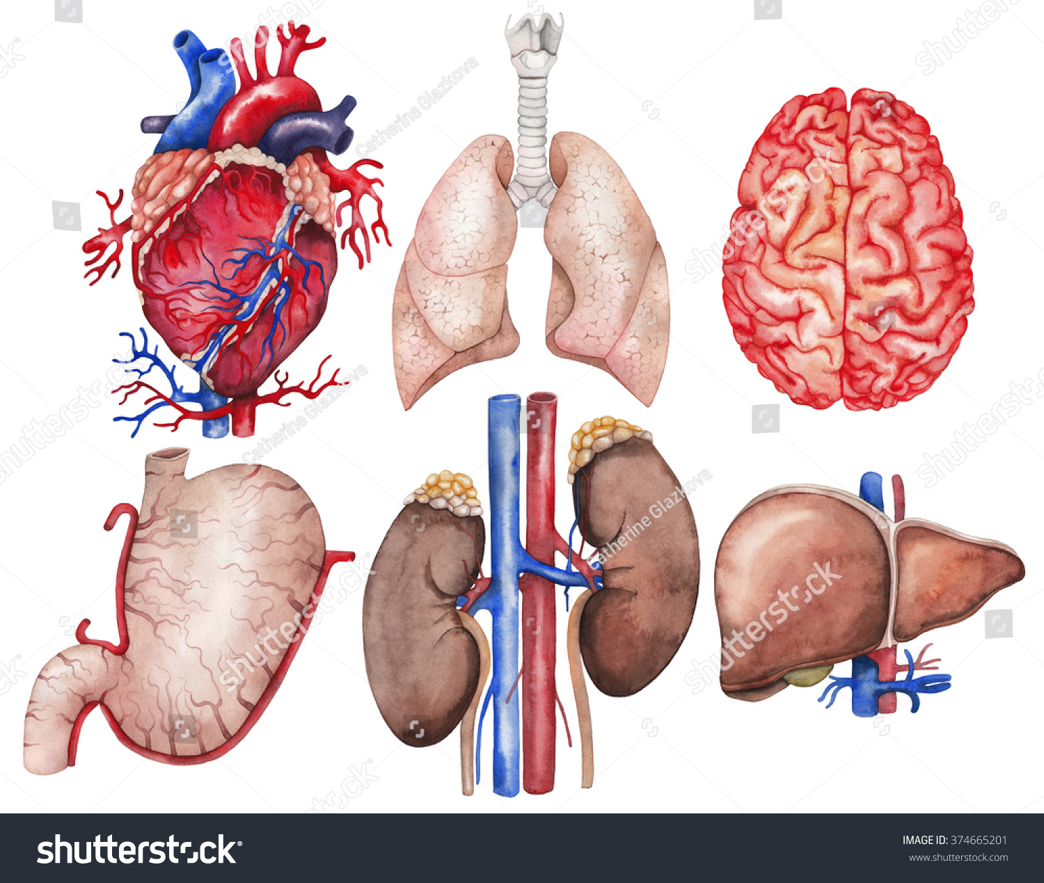Watercolor Anatomy Collection Heart Lungs Brain Stock