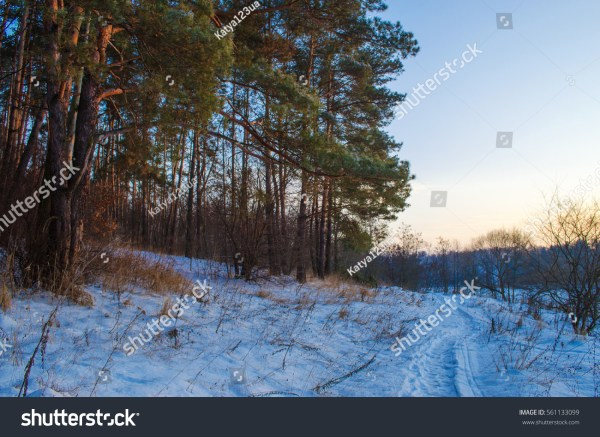 Winter Forest Frosty Snowy Weather Evening Стоковые ...