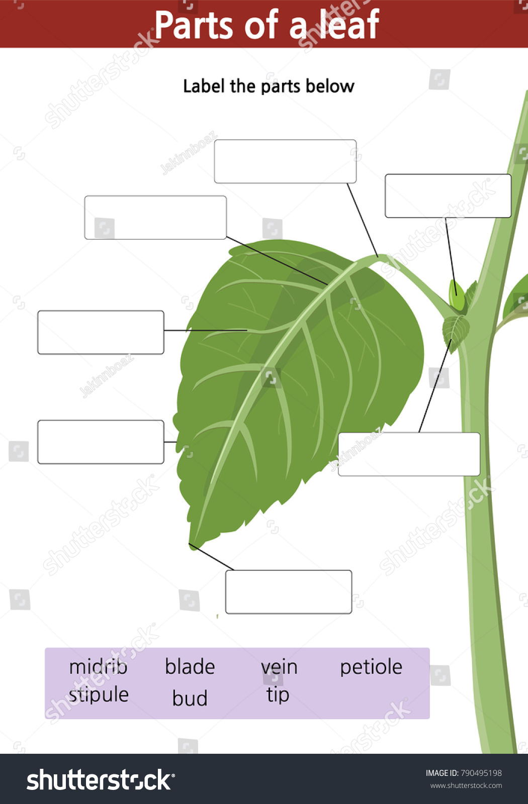 Worksheets Parts Of A Leaf Worksheet Cheatslist Free