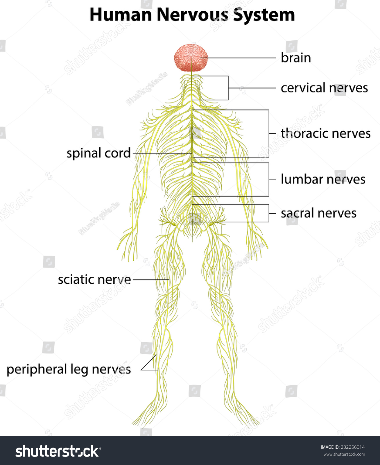 Image Showing Human Nervous System Stock Vector