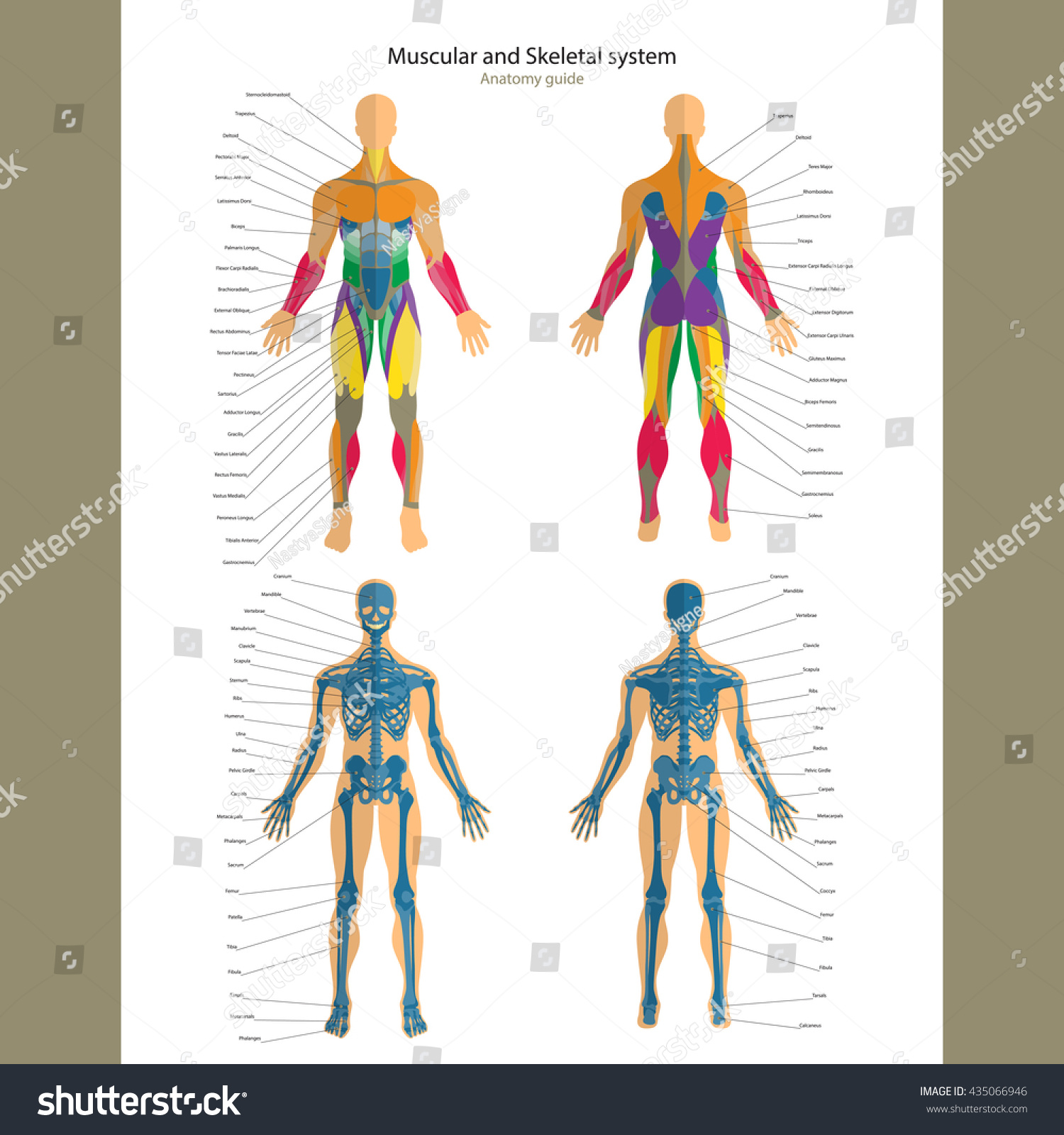 Anatomy Guide Male Skeleton Muscular System Stock Vector