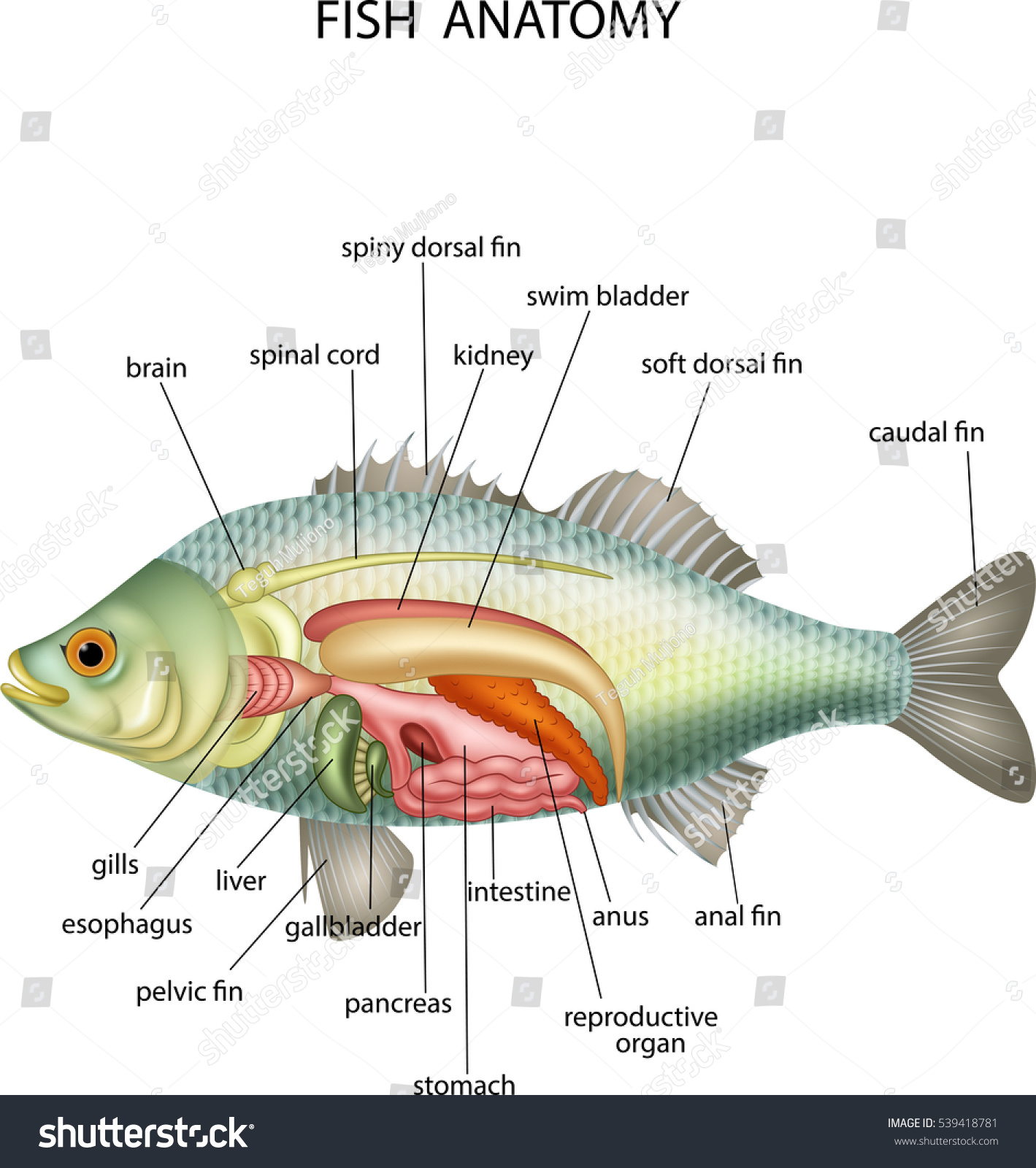 Worksheet Fish Anatomy Worksheet Grass Fedjp Worksheet