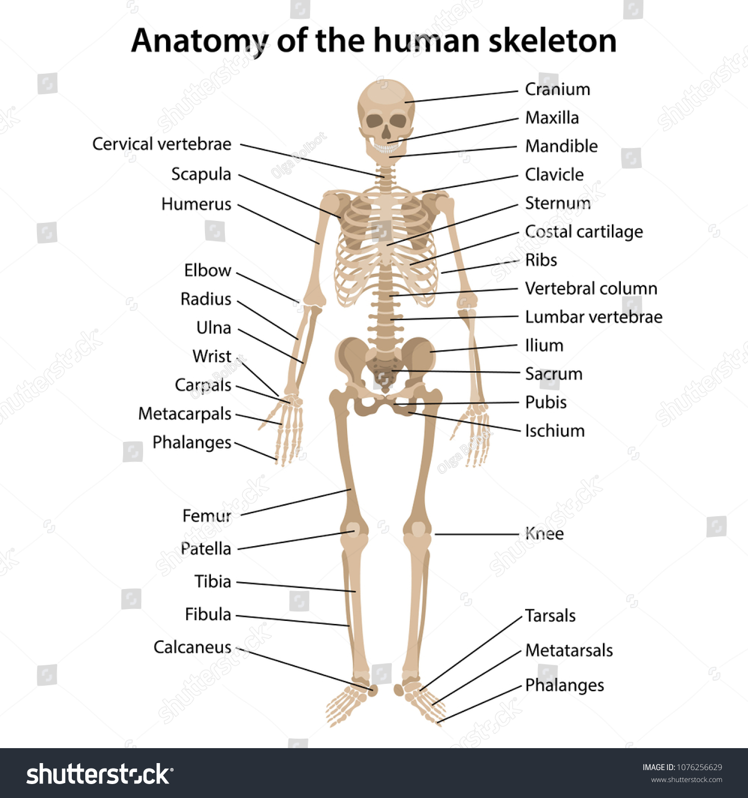 Human Skeleton Diagram Labeled