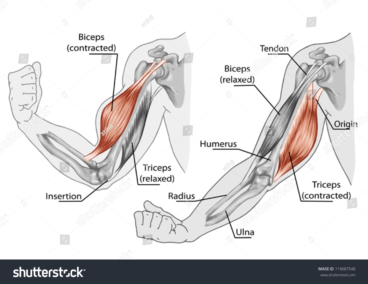 Anatomical Picture Of The Biceps And Triceps