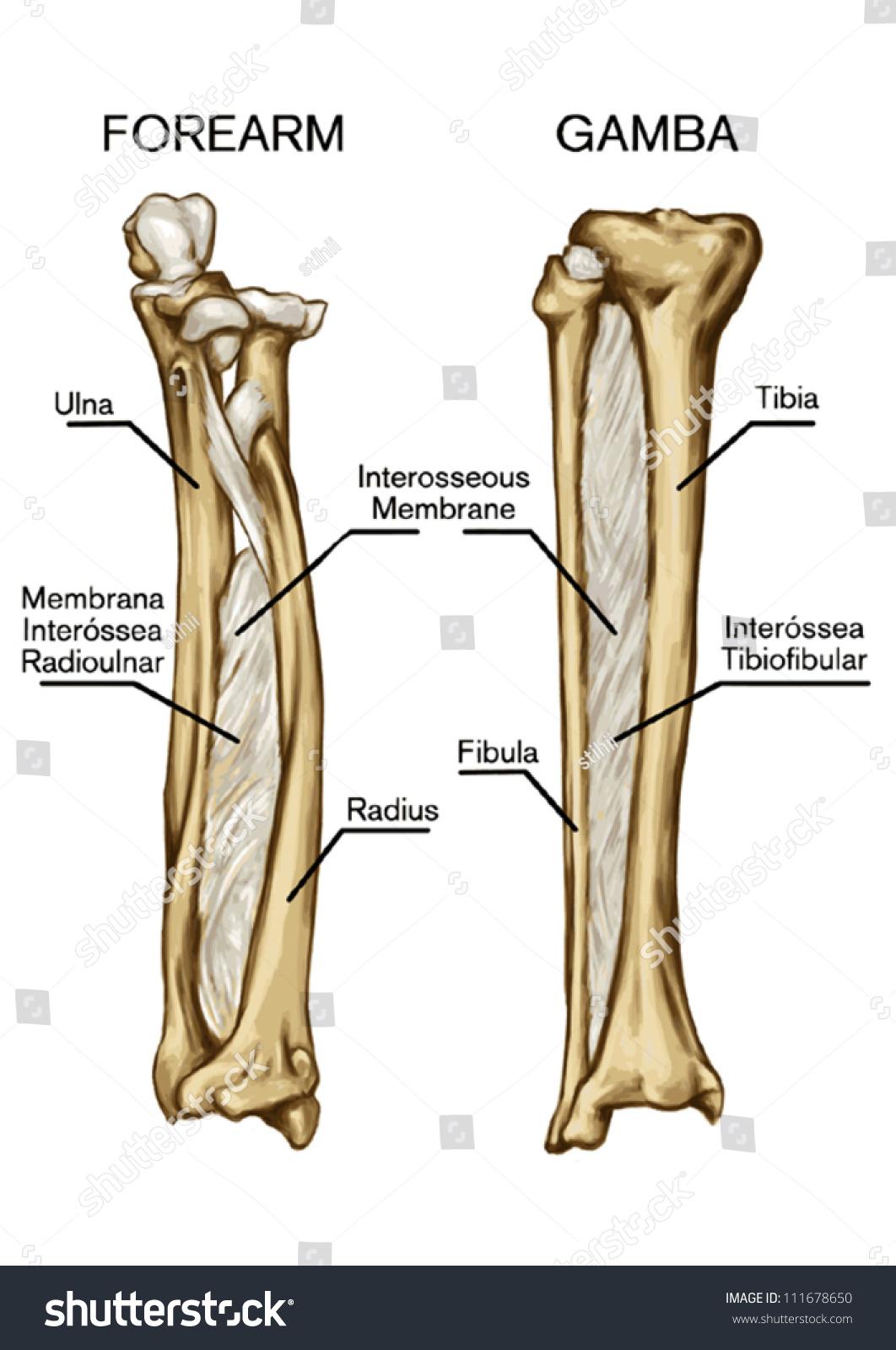 Bone Syndesmose Forearm Bone Gamba Bone Image Vectorielle