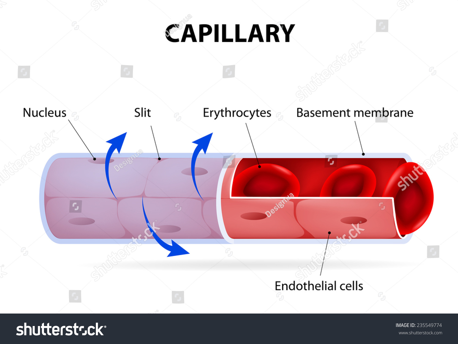 Capillary Blood Vessel Labelled Vector Diagram Stock