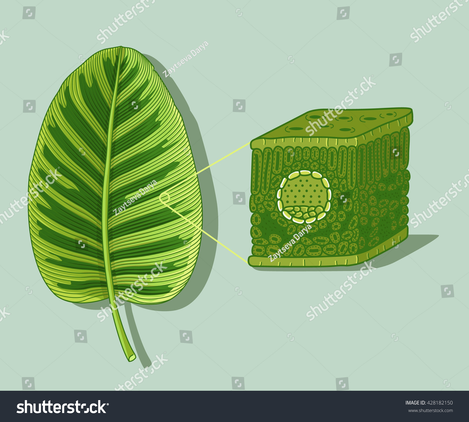 Cartoon Leaf Anatomy Structure Under Microscopy Stock
