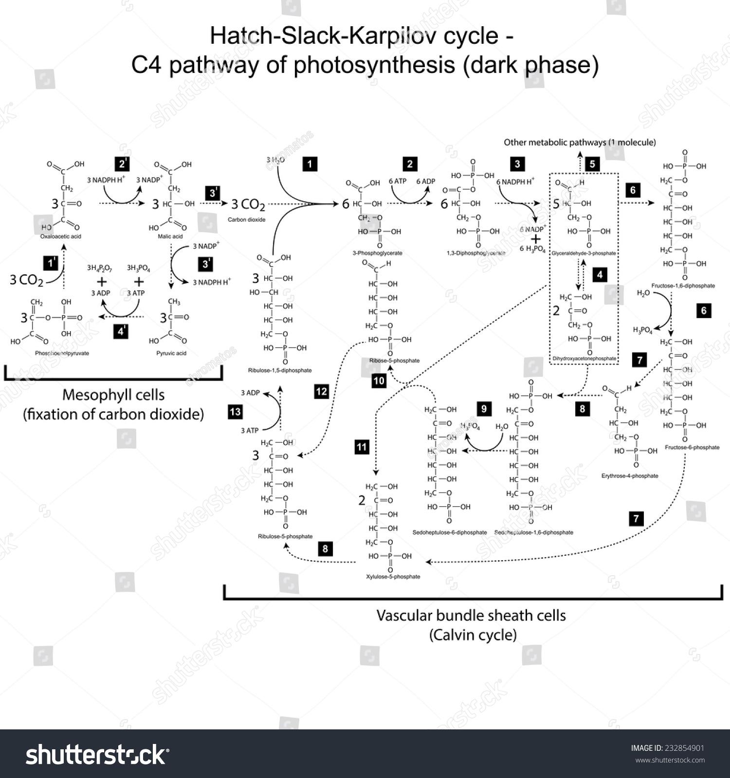 Chemical Scheme Hatch Slack Karpilov Cycle Stock Vector