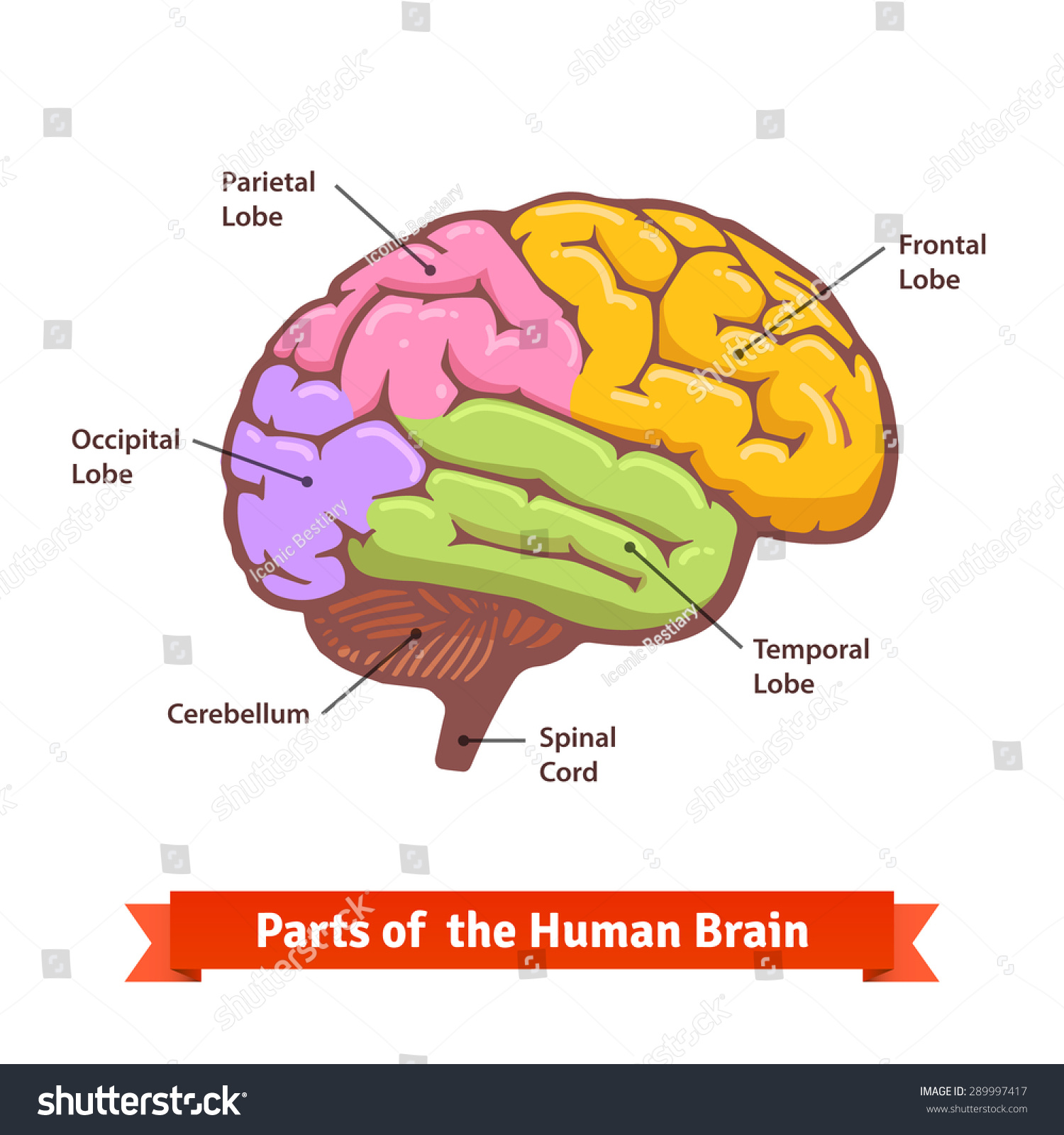 Colored Labeled Human Brain Diagram Flat Stock Vector