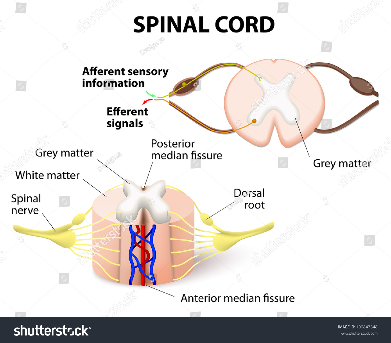 Crosssection Spinal Cord Central Nervous System Stock