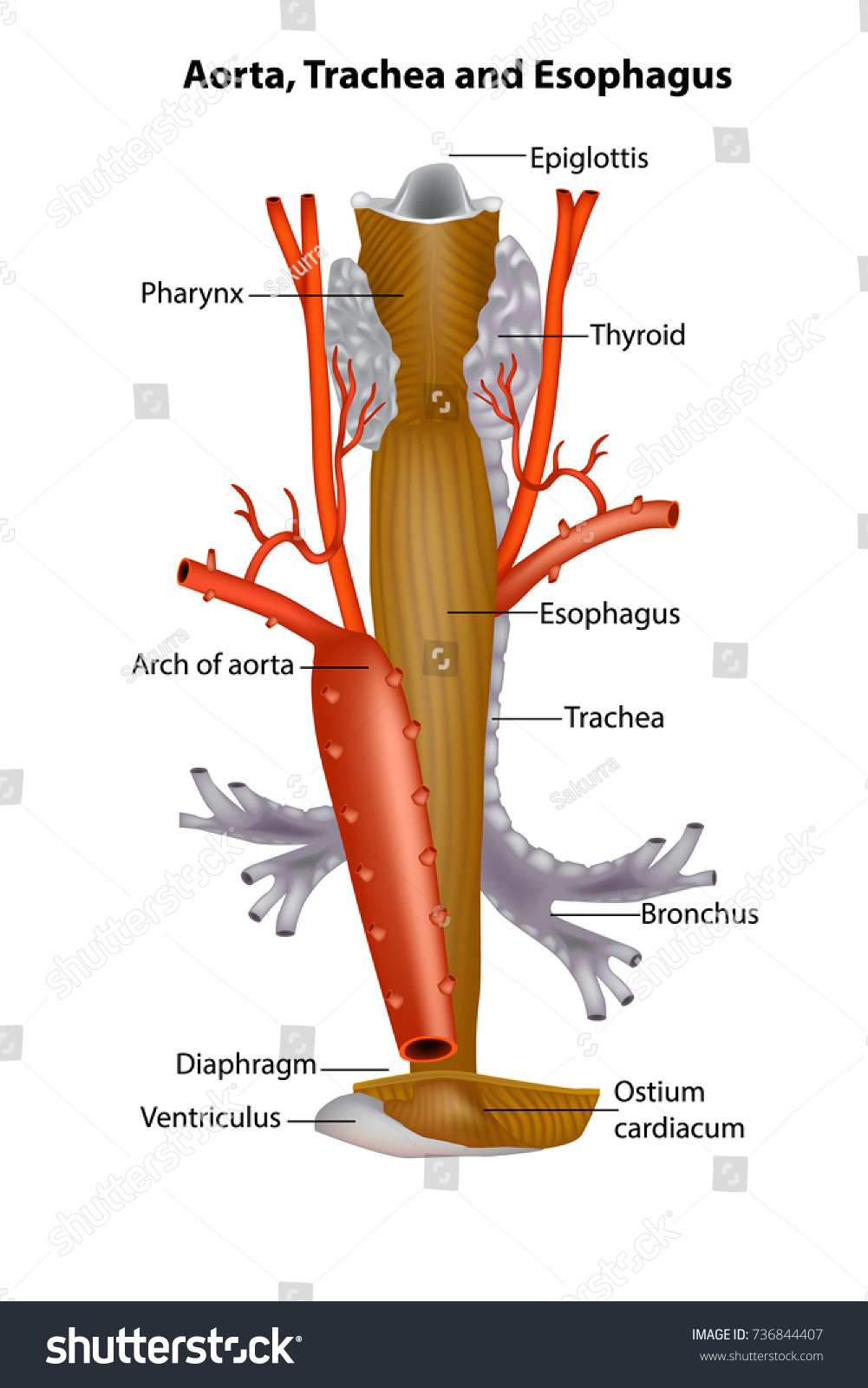 Anatomy Of Oesophagus Image collections - human body anatomy