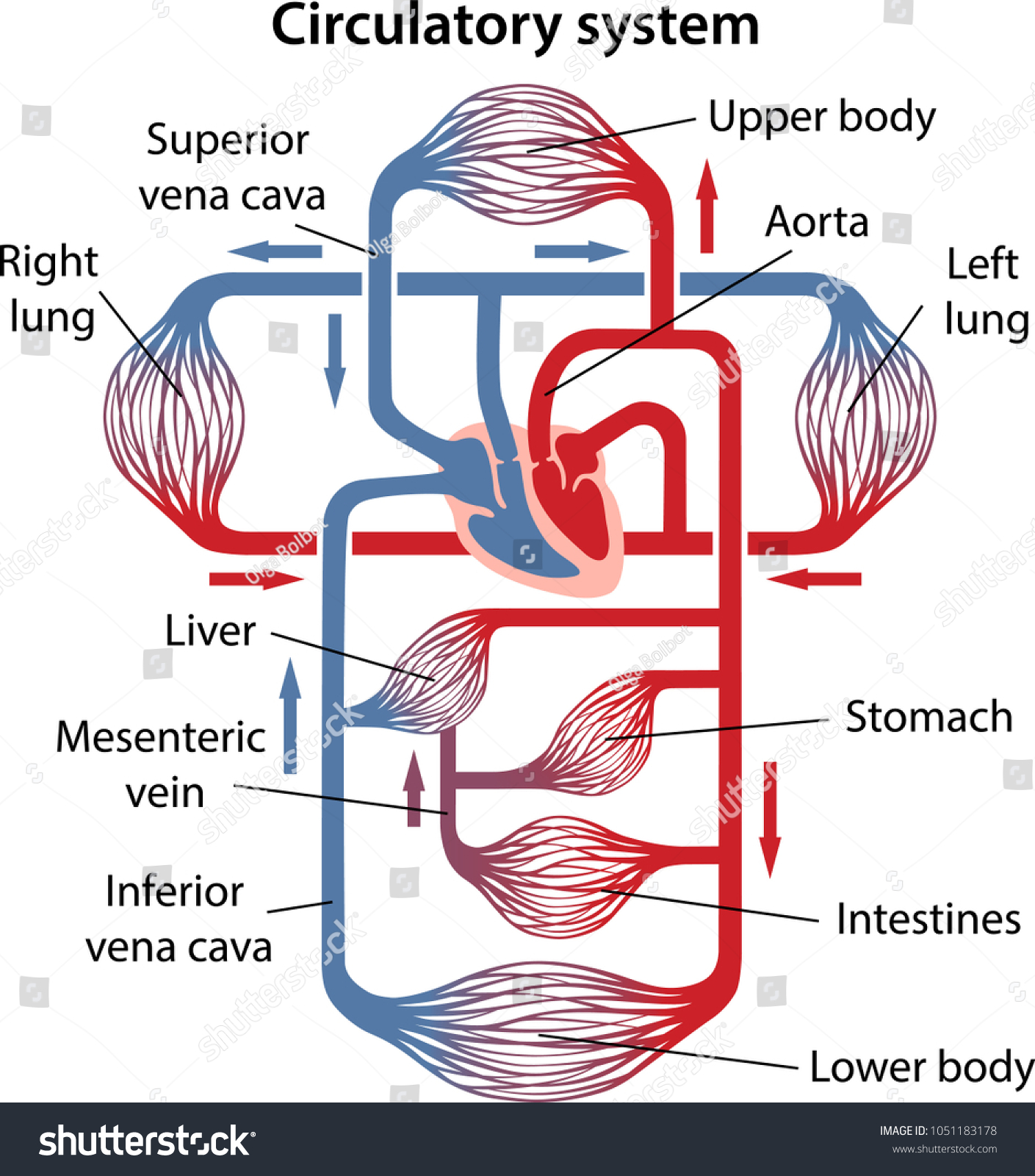 Labeled Diagram Of The Circulatory System