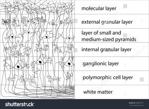 Diagram Structure Cerebral Cortex Vector Stock Vector