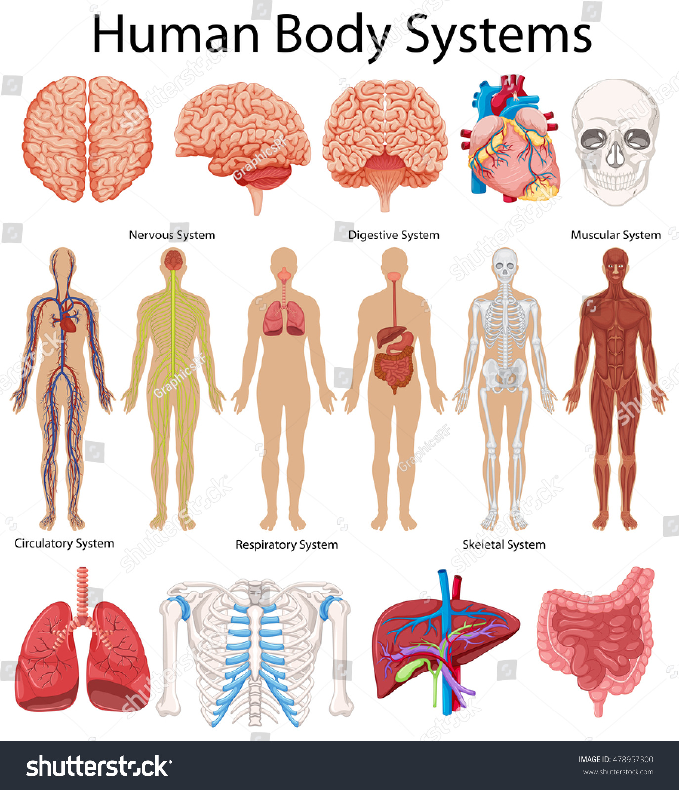 Diagram Showing Human Body Systems Illustration Stock