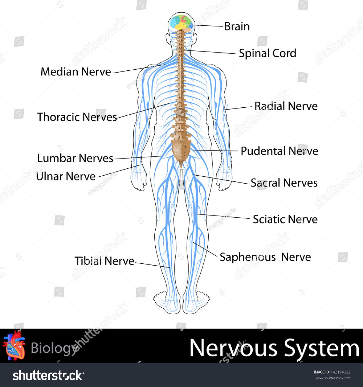 Easy Edit Vector Illustration Nervous System Stock Vector