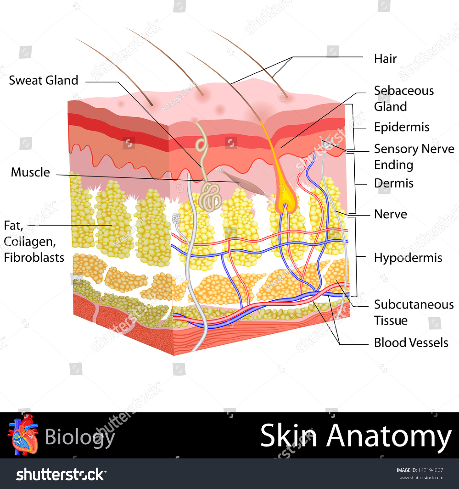 Easy Edit Vector Illustration Skin Anatomy Stock Vector