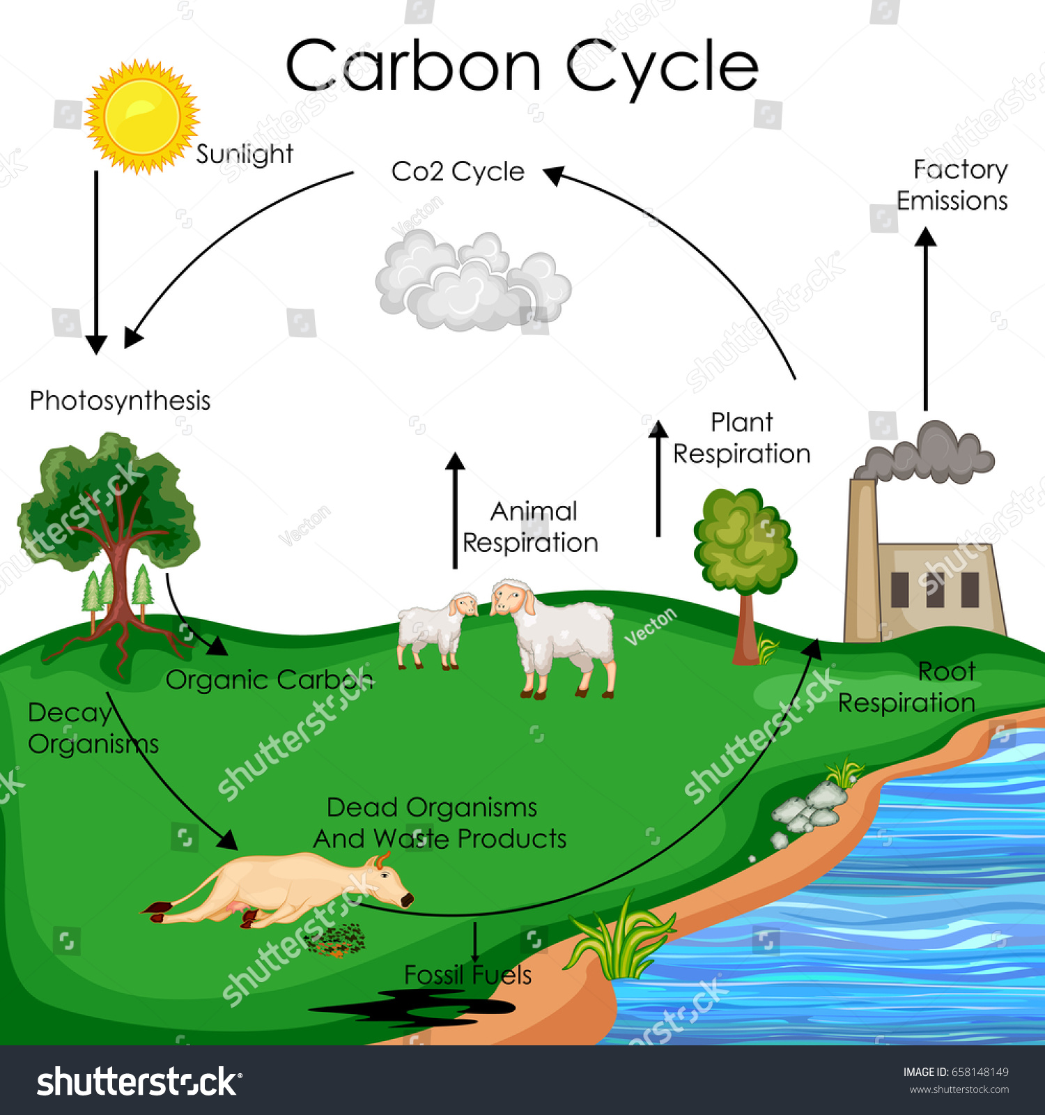 Education Chart Biology Carbon Cycle Diagram Stock Vector