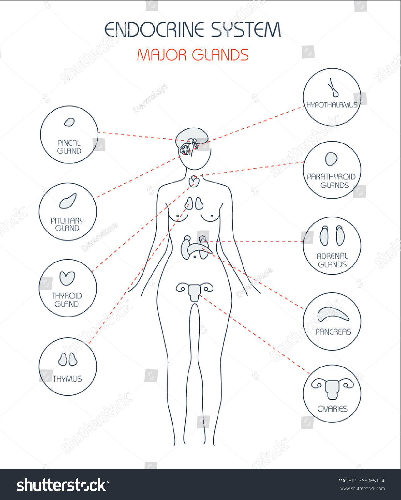 Endocrine System Human Anatomy Human Silhouette With Highlighted Internal Organs Stock Vector