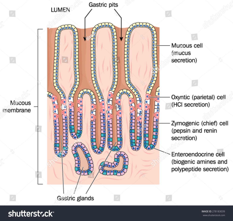 Gastric Pits Glands Plus Secretory Cells Stock Vector