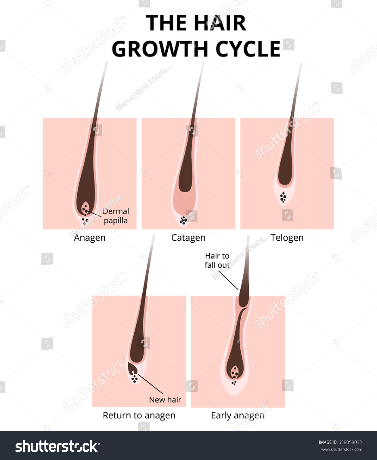 Hair Growth Phase Anatomy Diagram Human Stock Vector