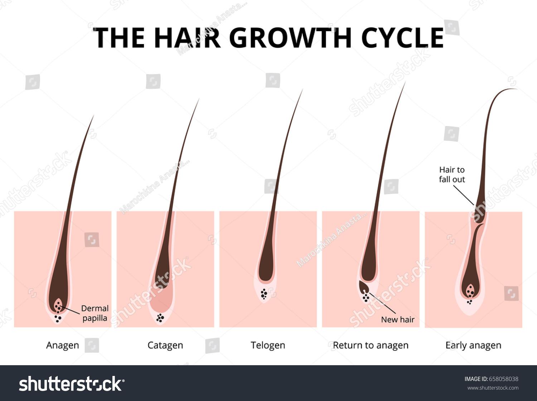 Hair Growth Phase Anatomy Diagram Human Stock Vector