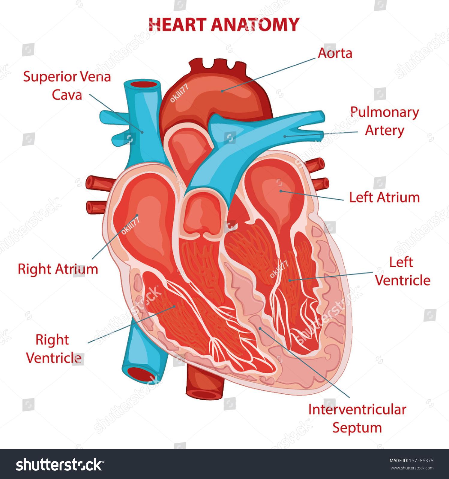 Heart Anatomy Cross Section Diagram Stock Vector