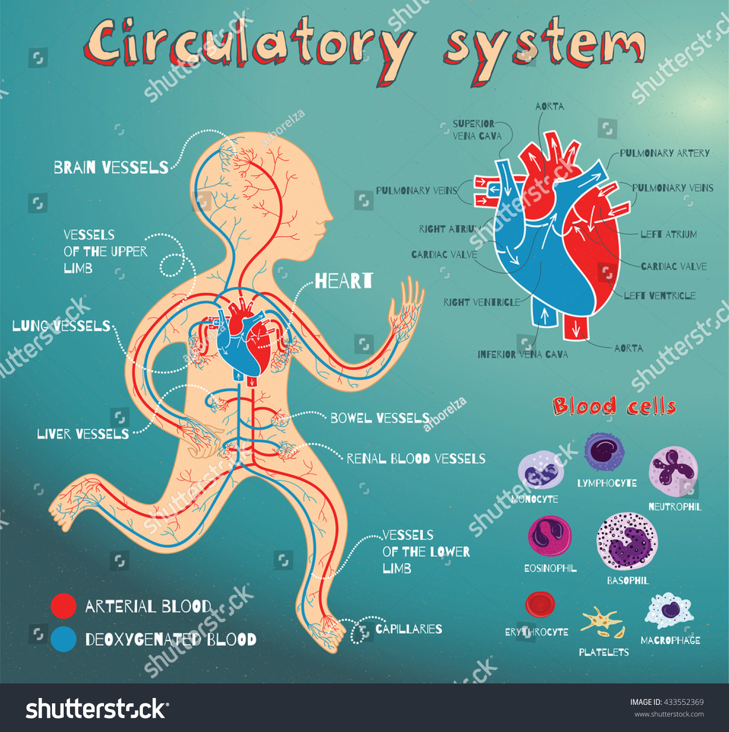Human Circulatory System Kids Vector Color Stock Vector