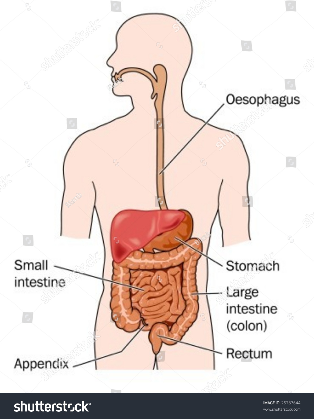 Human Digestive System Labeled Stock Vector