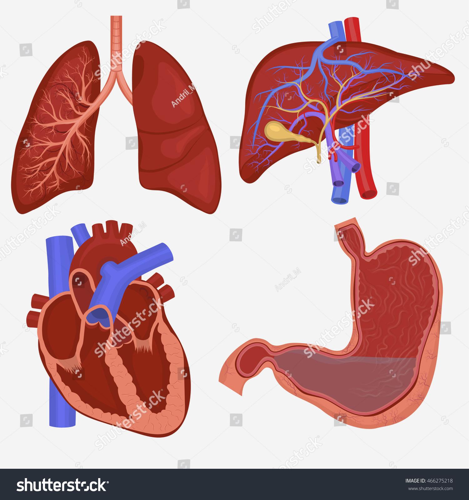 Internal Heart Anatomy Diagram