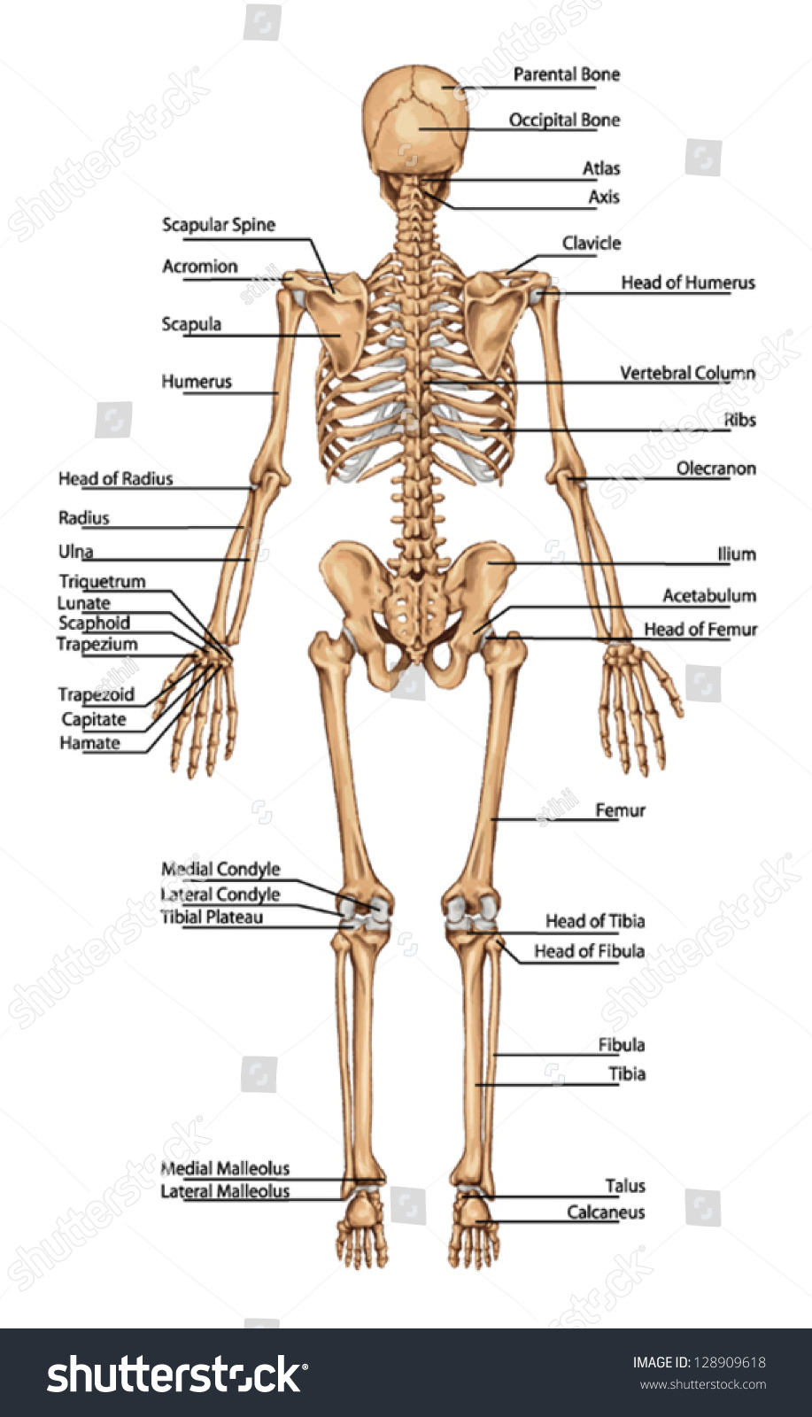 Woman Skeleton Bones Labeled