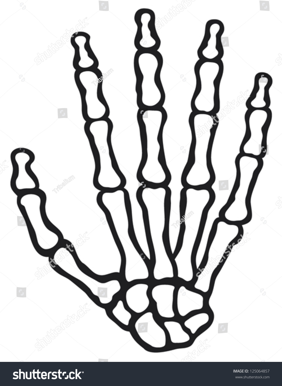 Human Skeleton Hand Bones Stock Vector