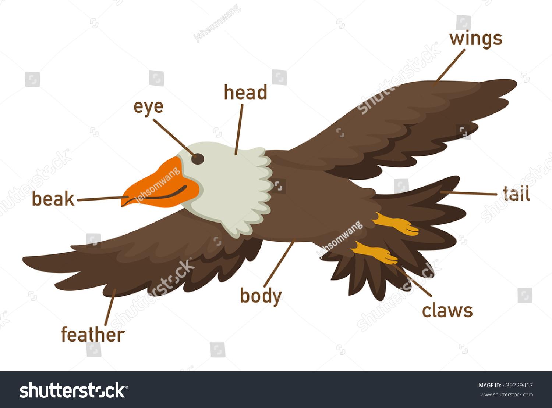 Illustration Eagles Vocabulary Part Body Vector Stock