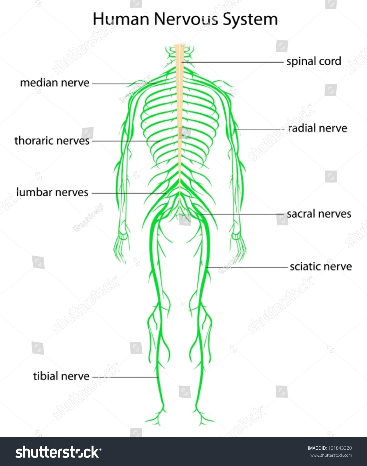 Illustration Human Nervous System Labels Stock Vector
