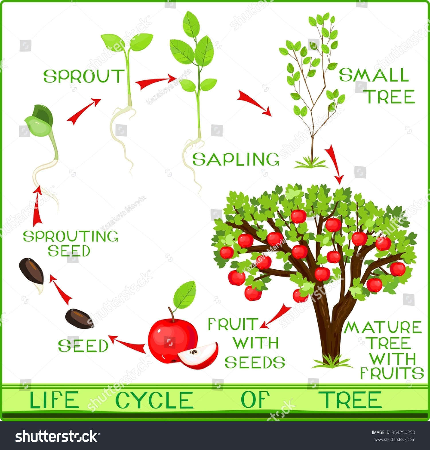 Life Cycle Apple Tree Stock Vector