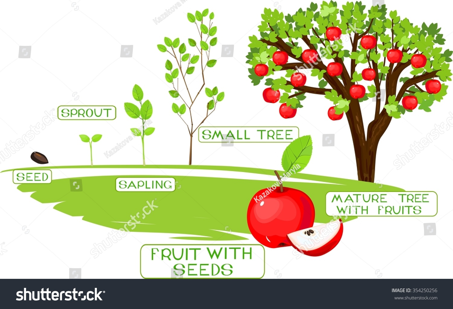 Life Cycle Apple Tree Stock Vector Royalty Free 354250256