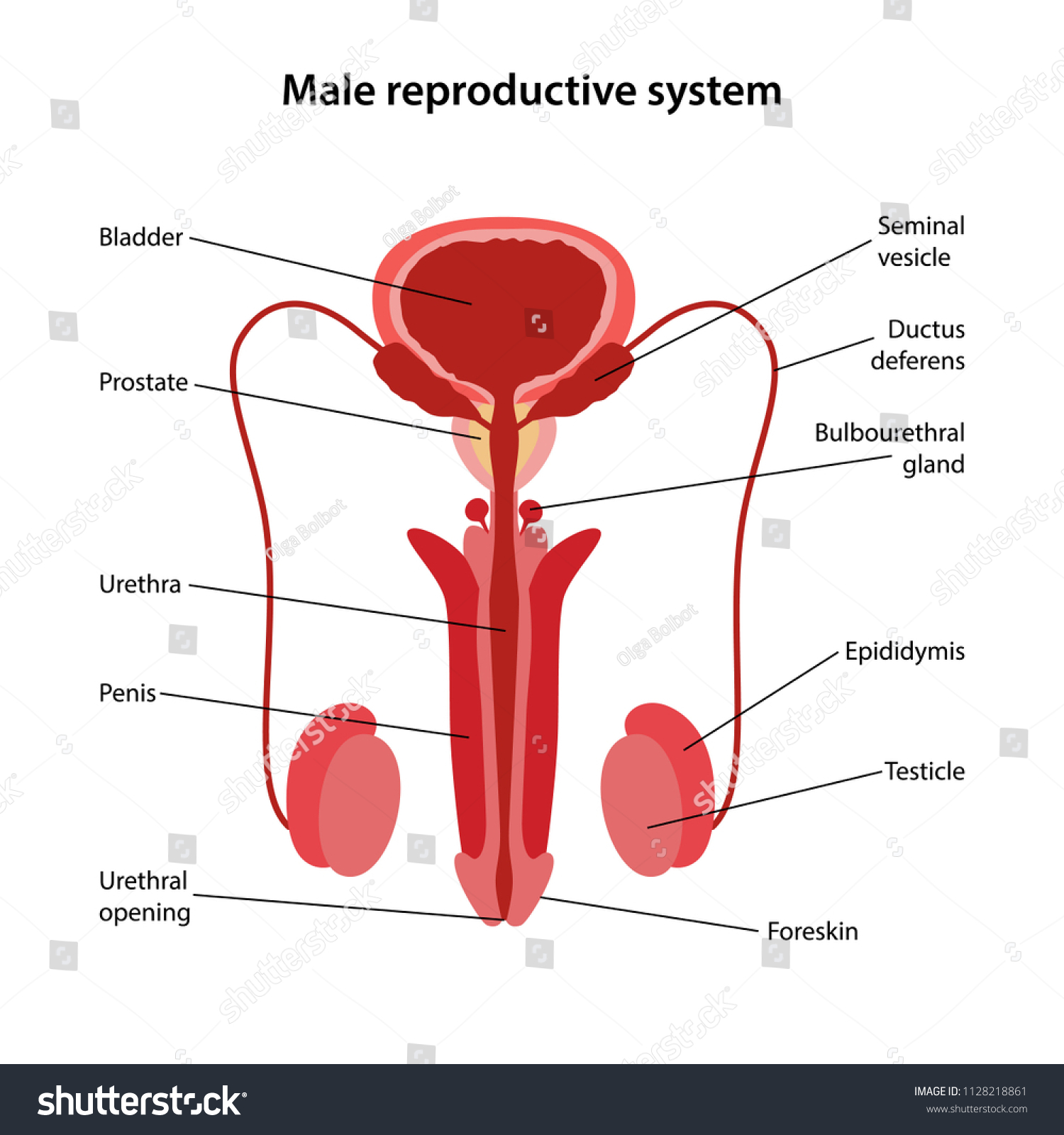 32 Male Reproductive System Diagram Unlabeled