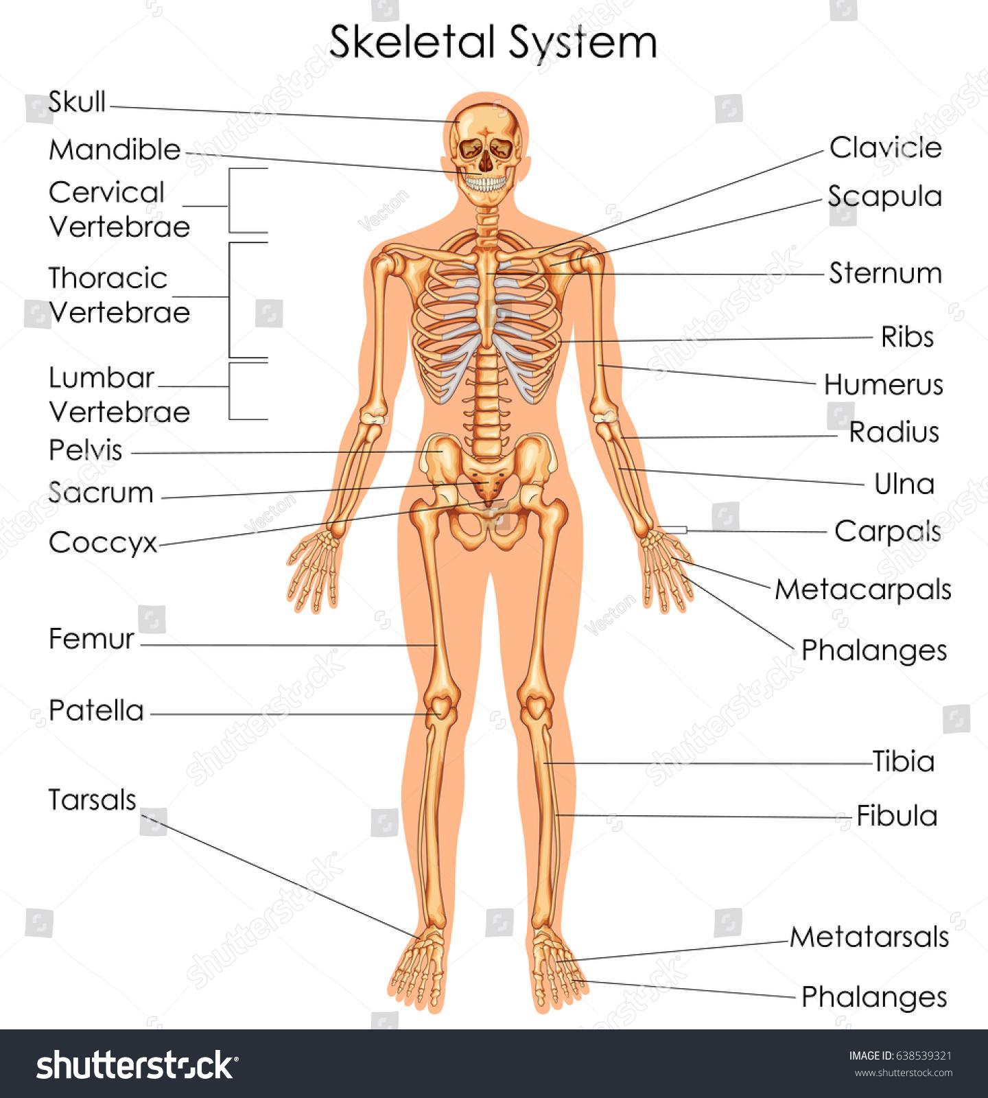 Medical Education Chart Biology Skeletal System Stock