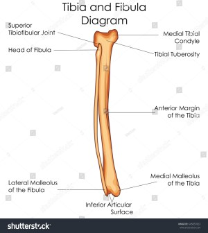 Medical Education Chart Biology Tibia Fibula Stock Vector