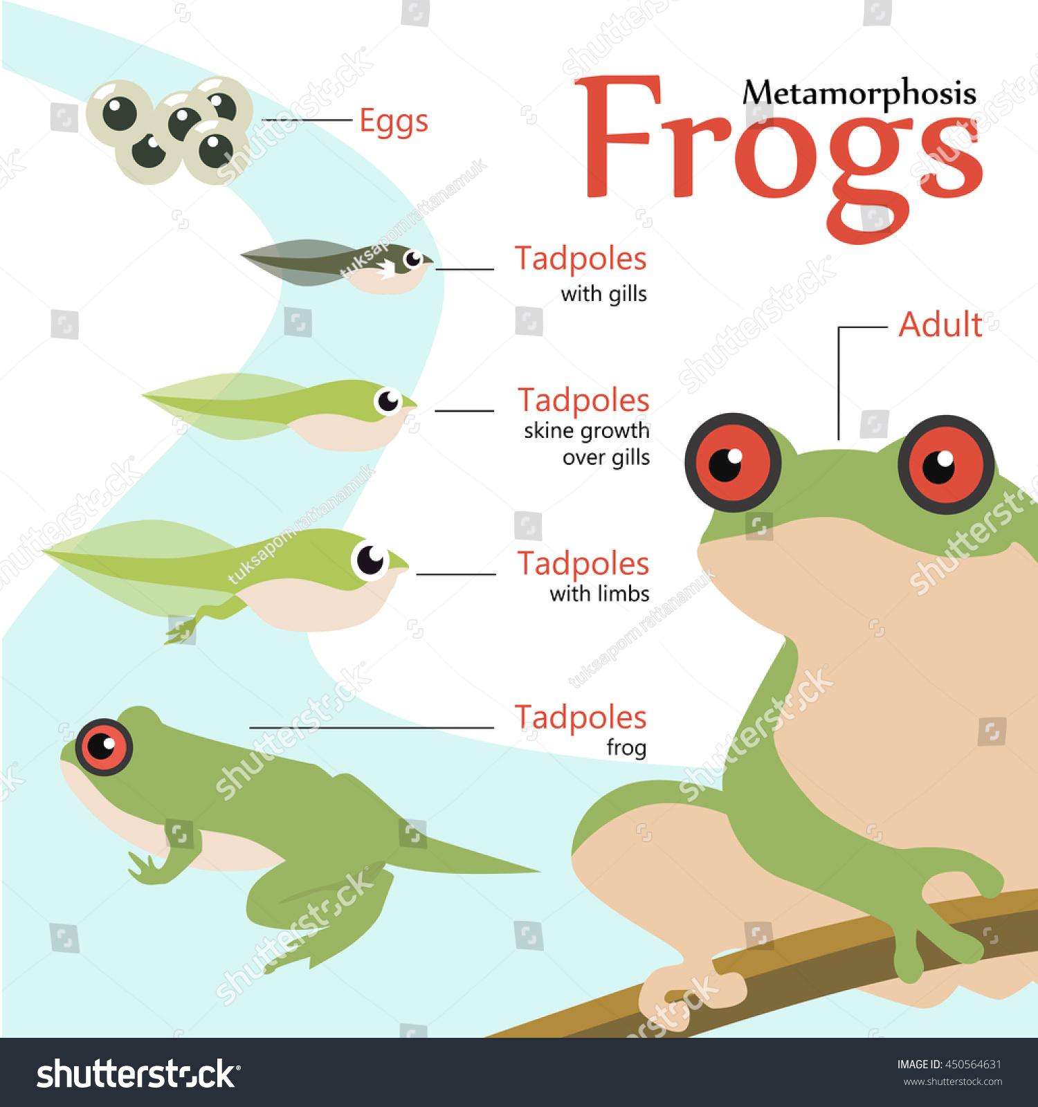 Metamorphosis Life Cycle Frog Vector Illustration Stock Vector