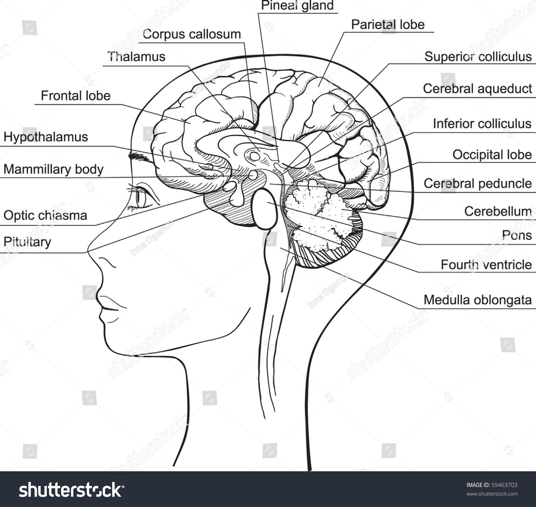 Midsagittal Section Of The Human Brain Vector