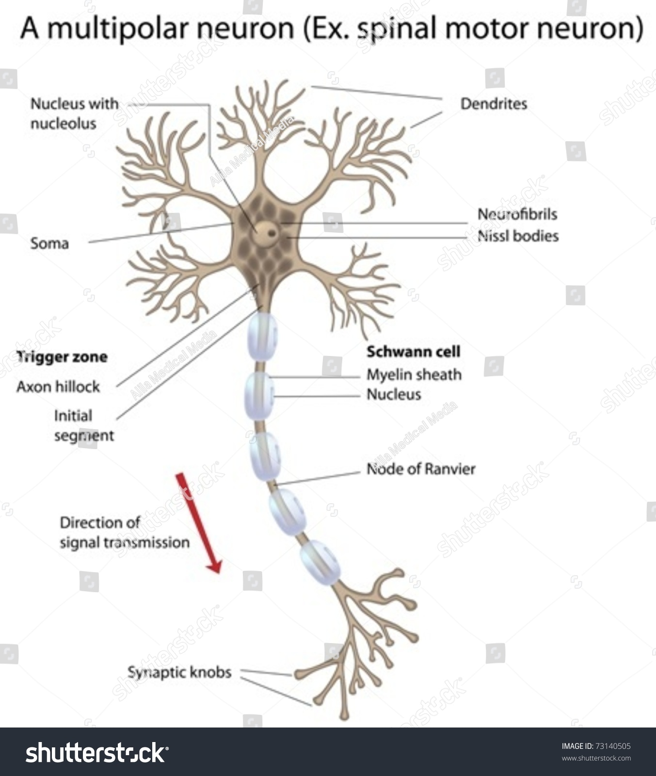 Motor Neuron Detailed And Accurate Labeled Stock Vector